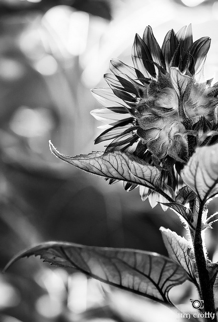 black and white photography -sunflower